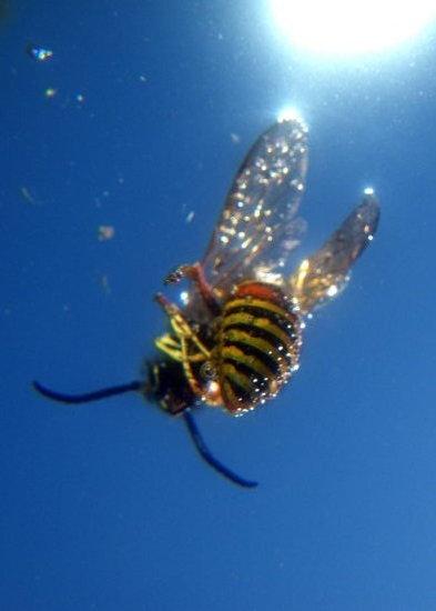 water wasp